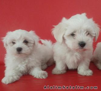 Hayvanlar Alemi Evcil Hayvanlar Köpek Maltese Terrier  - SATILIK MALTESE TERİER YAVRULARI 05344789928