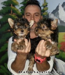 Hayvanlar Alemi Evcil Hayvanlar Köpek Yorkshire Terrier  - satılık YORK SHİRE TERİER  YAVRULAR  05344789928
