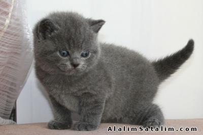 Hayvanlar Alemi Evcil Hayvanlar Kedi  British Shorthair  - BRİTİSH SHORTHAİR YAVRULARIMIZ YILBAŞI FİYATLARI