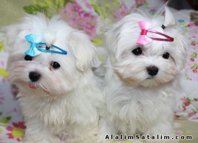 Hayvanlar Alemi Evcil Hayvanlar Köpek Maltese Terrier  - MALTESE YAVRUSU MAMA PET 0534.467.69.79