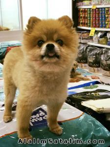 Hayvanlar Alemi Evcil Hayvanlar Köpek Pomeranian  - POMERANİAN BOO TEDY ORJİNAL EN KALİTELİSİ ANKARA