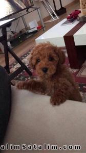Hayvanlar Alemi Evcil Hayvanlar Köpek Poodle  - Red Toy Poodle yavrularımız