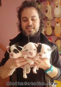 Hayvanlar Alemi Evcil Hayvanlar Köpek French Bulldog  - SATILIK FRENÇ BULDOG YAVRULARI 05344789928