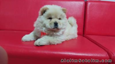 Hayvanlar Alemi Evcil Hayvanlar Köpek Chow Chow  - satılık chow chow yavruları 05344789928
