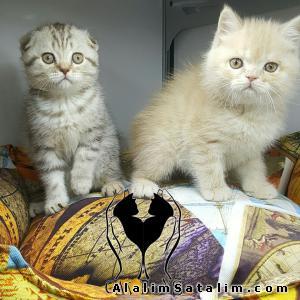 Hayvanlar Alemi Evcil Hayvanlar Kedi  Scottish Fold  - ÇİKOLATA TABBY SCOTTİSH  BRİTİSH 0538 377 80 08