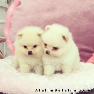 Hayvanlar Alemi Evcil Hayvanlar Köpek Pomeranian  - POMERANİAN YAVRULARIMIZ UYGUN  FIYATLARIMIZLA