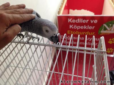 Hayvanlar Alemi Evcil Hayvanlar Kuş  Papağan  - EVCİL KONUSAN JAKO PAPAĞANLARI