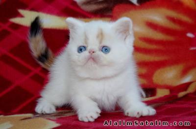 Hayvanlar Alemi Evcil Hayvanlar Kedi  Egzotic Shorthair  - EGZOTİK SHORTHAİR YAVRULARI EN UYGUN FİYATLARLA