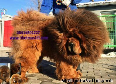 Hayvanlar Alemi Evcil Hayvanlar Köpek Diğer Irklar  - satılık yavru tibet mastif ilanı