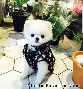 Hayvanlar Alemi Evcil Hayvanlar Köpek Pomeranian  - Pomeranian Boo Yetişkin Teddy Bear 0543 223 4403
