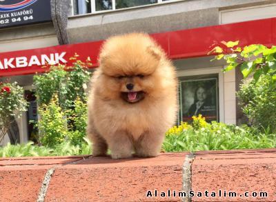 Hayvanlar Alemi Evcil Hayvanlar Köpek Pomeranian  - Ayı Surat Pomeranian Boo Yavrular