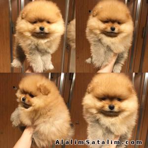 Hayvanlar Alemi Evcil Hayvanlar Köpek Pomeranian  - Boo Pomeranian Teddy Bear Secereli 538 265 12 72