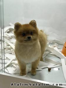 Hayvanlar Alemi Evcil Hayvanlar Köpek Pomeranian  - ORJİNAL SECERELİ AŞILI POMERANİAN BOO ANKARA