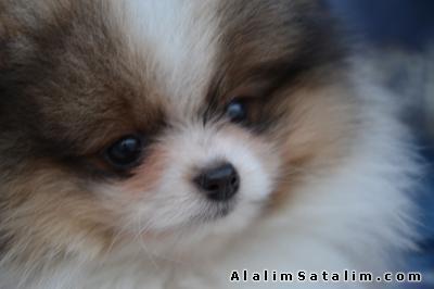 Hayvanlar Alemi Evcil Hayvanlar Köpek Pomeranian  - Pomeranian Boo Party color (orange-white)