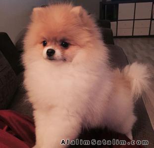 Hayvanlar Alemi Evcil Hayvanlar Köpek Pomeranian  - Sağlık ve Irk Garantili Pomeranian Yavrumuz