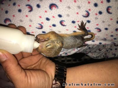 Hayvanlar Alemi Evcil Hayvanlar Sincap  Kızıl Sincap  - Sincap Show Menderes Show