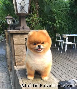 Hayvanlar Alemi Evcil Hayvanlar Köpek Pomeranian  - Dişi Teddy Bear Pomeranian Boo 0533 134 73 62