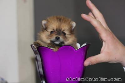 Hayvanlar Alemi Evcil Hayvanlar Köpek Pomeranian  - POMERANİAN BOO YAVRUSU
