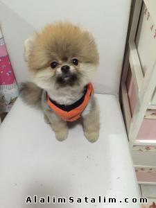 Hayvanlar Alemi Evcil Hayvanlar Köpek Pomeranian  - UYGUN FIYATLARIMIZLA POMERANİAN YAVRULAR