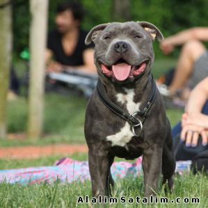Hayvanlar Alemi Evcil Hayvanlar Köpek Bull Terrier  -  BLUE VE TİGER İNGİLİZ STAFFORDHİRE BULL TERRİER