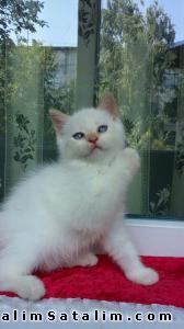 Hayvanlar Alemi Evcil Hayvanlar Kedi  British Shorthair  - SATILIK RED POINT BRİTİSH SHORTHAİR