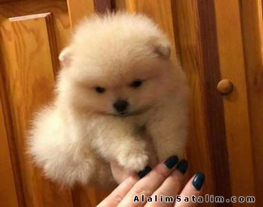 Hayvanlar Alemi Evcil Hayvanlar Köpek Pomeranian  - Teddy Bear Pomeranian Boo Yavru 0533 134 73 62