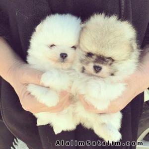 Hayvanlar Alemi Evcil Hayvanlar Köpek Pomeranian  - POMERANİAN BOO TEDDY BEAR YAVRULAR 0543 223 4403