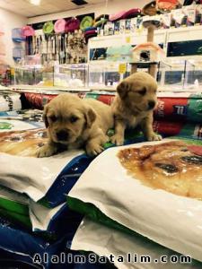 Hayvanlar Alemi Evcil Hayvanlar Köpek Golden Retriever  - ORJİNAL BABY FACE GOLDEN RETRİEVER ANKARA