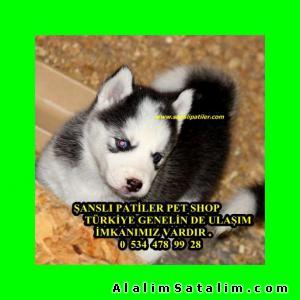 Hayvanlar Alemi Evcil Hayvanlar Köpek Husky  - MAVİ GÖZLÜ HUSKY YAVRULAR 05344789928