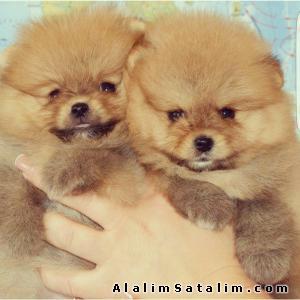 Hayvanlar Alemi Evcil Hayvanlar Köpek Pomeranian  - Teddy Bear Pomeranian Boo Yavrular 0543 223 4403