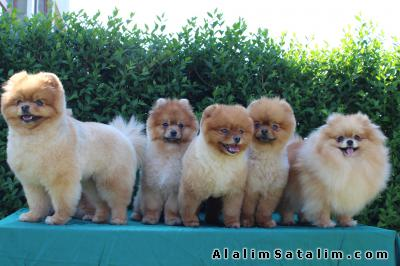 Hayvanlar Alemi Evcil Hayvanlar Köpek Pomeranian  - TRAŞLI SECERELİ ORJİNAL POMERANİAN 05059886484