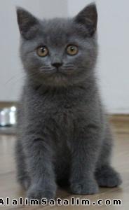 Hayvanlar Alemi Evcil Hayvanlar Kedi  British Shorthair  - BRİTİSH SHORTHAİR YAVRULARI YILBAŞI İNDİRİMLERİ