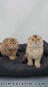Hayvanlar Alemi Evcil Hayvanlar Kedi  Scottish Fold  - Golden ve Brown Scottish Fold