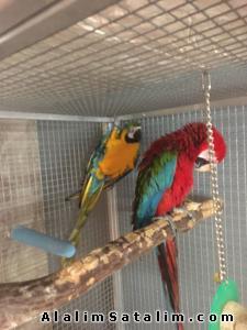 Hayvanlar Alemi Evcil Hayvanlar Kuş  Papağan  - MUHTEŞEM RENKLİ ARA MACAW SCARLET PAPAĞANLAR