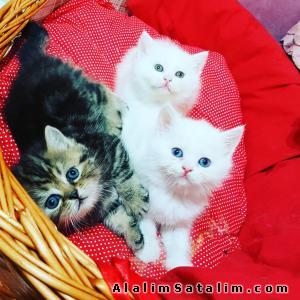 Hayvanlar Alemi Evcil Hayvanlar Kedi  Scottish Fold  -  Ev ortamında Büyüyen Safkan Scottish Yavruları