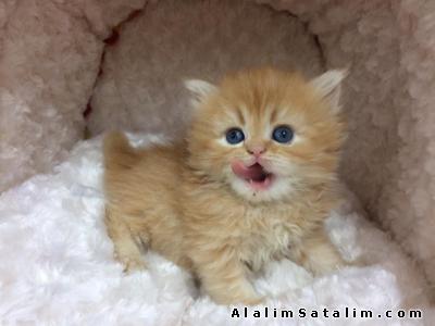 Hayvanlar Alemi Evcil Hayvanlar Kedi  İran  - SATILIK İRAN CHİNCHİLLA YAVRULARI