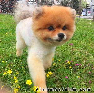 Hayvanlar Alemi Evcil Hayvanlar Köpek Pomeranian  - BOO POMERANİAN
