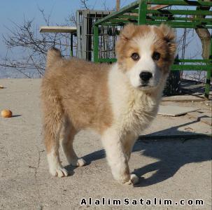 Hayvanlar Alemi Evcil Hayvanlar Köpek Alabay  - SATILIK ALABAİ YAVRULARI 05344789928