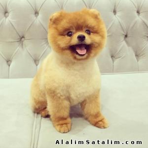 Hayvanlar Alemi Evcil Hayvanlar Köpek Pomeranian  - TÜRKİYEDE EN GÜZEL BOO POMERANİAN 0538 265 12 72