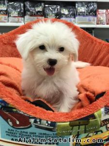 Hayvanlar Alemi Evcil Hayvanlar Köpek Maltese Terrier  - ORJİNAL TEA CUP MALTESE TERRİER YAVRUSU