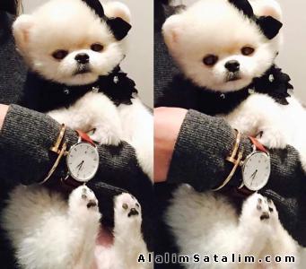 Hayvanlar Alemi Evcil Hayvanlar Köpek Pomeranian  - Boo Pomeranian Teddy Bear Ayıcık 0538 265 12 72