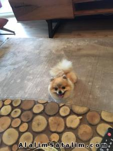 Hayvanlar Alemi Evcil Hayvanlar Köpek Pomeranian  - POMERİAN BOO