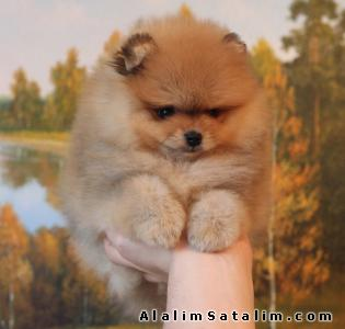 Hayvanlar Alemi Evcil Hayvanlar Köpek Yorkshire Terrier  - Irk ve Sağlı Garantili Pomeranian Yavrumuz