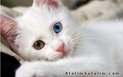 Hayvanlar Alemi Evcil Hayvanlar Kedi  Van  - Van kedisi yavruları safkan orginal