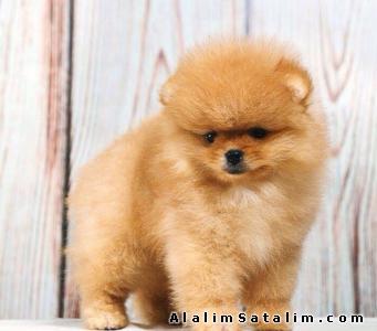 Hayvanlar Alemi Evcil Hayvanlar Köpek Pomeranian  - Aşı Karne Pasport Eksksz Pomeranian Yavrularımız