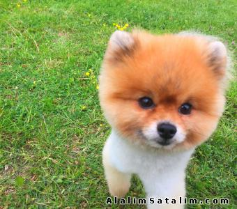 Hayvanlar Alemi Evcil Hayvanlar Köpek Pomeranian  - SUGAR POMERANİAN BOO