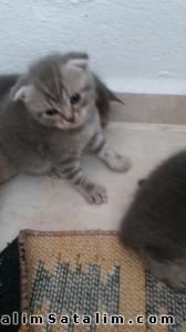 Hayvanlar Alemi Evcil Hayvanlar Kedi  Scottish Fold  - anne altından scottish  brittish kedi yavruları