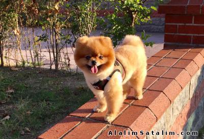 Hayvanlar Alemi Evcil Hayvanlar Köpek Pomeranian  - Pipa Teddy Bear Pomeranian Boo 0533 134 73 62