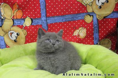 Hayvanlar Alemi Evcil Hayvanlar Kedi  British Shorthair  - brıtıs shorthaır
