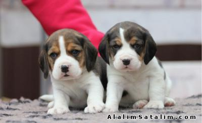Hayvanlar Alemi Evcil Hayvanlar Köpek Beagle  - ÇİFTLİKTEN BEAGLE MİNİ BOY CİNSİ 0534.467.69.79